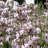 Photo: Lavandula angustifolia 'Rosea'