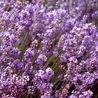 Photo: Lavandula angustifolia 'Schola'