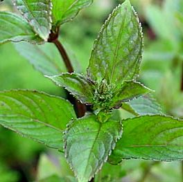 Photo: Mentha x piperita 'Black Spearmint'