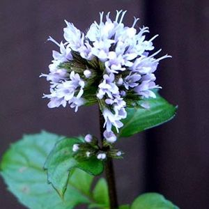 Photo: Mentha x piperita f. citrata  'Eau de Cologne'