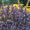 Photo: Nepeta transcaucasica 'Blue Infinity'