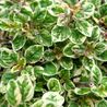 Photo: Origanum vulgare 'Country Cream'