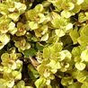 Photo: Origanum vulgare 'Thumble's Variety'