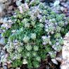 Photo: Thymus serpyllum 'Elfin'