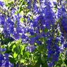 Photo: Veronica austriaca 'Knallblau'