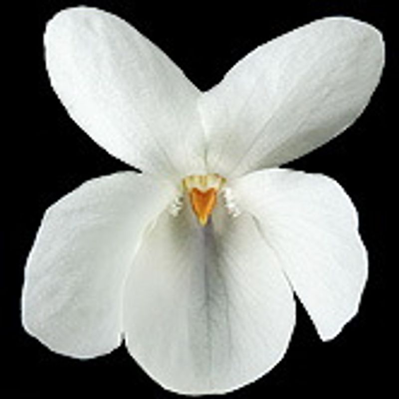 Photo: Viola odorata 'Bride White'