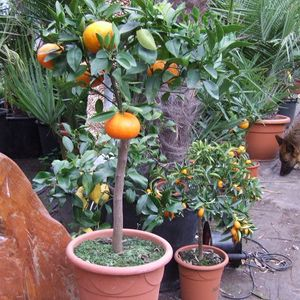 Photo: Citrus reticulata