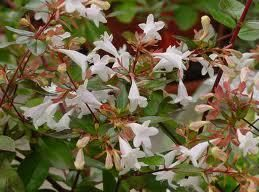 Photo: Abelia 'Confetti'
