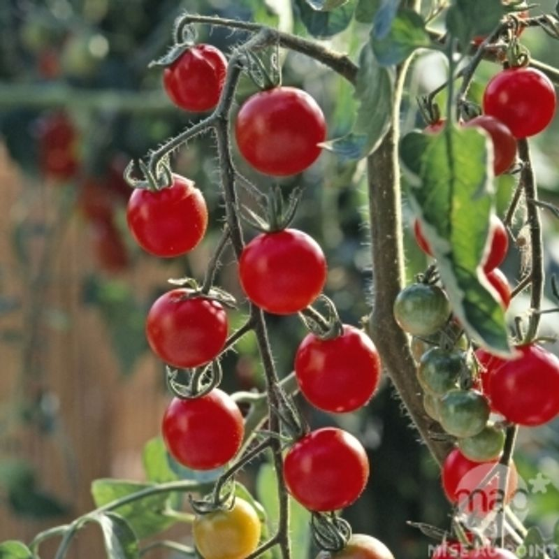 Photo: Tomate Cerise 'Grappe Sweet 100 F1'