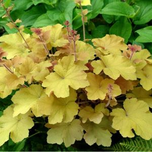 Photo: Heuchera 'Caramel'