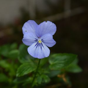Photo: Violette cornue 'Icy But Spicy'