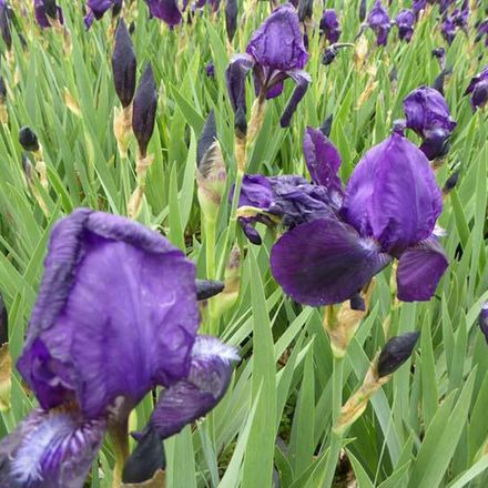 6 X Iris Germanica 'Black Knight'  - Iris Des Jardins 'Black Knight' - Godet 9x9cm
