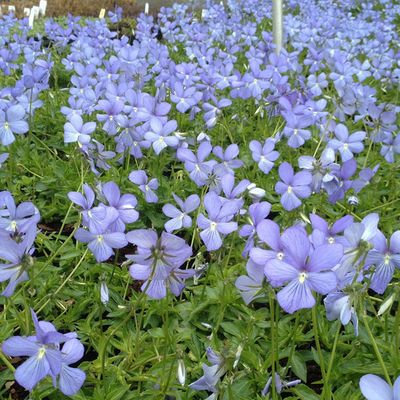 6 X Viola 'Boughton Blue'- Violette Cornue 'Boughton Blue' - Godet 9x9cm