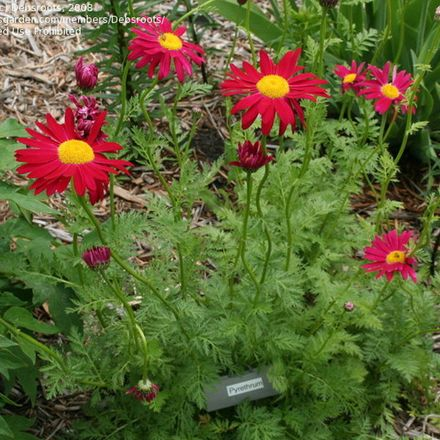 6 X Tanacetum 'Robinson's Red'- PyrèThre 'Robinson's Red' - Godet 9x9cm