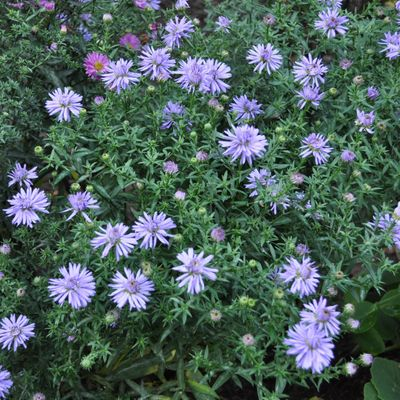 6 X Aster Dumosus 'Lady In Blue' - Aster Nain 'Lady In Blue' - Godet 9x9cm