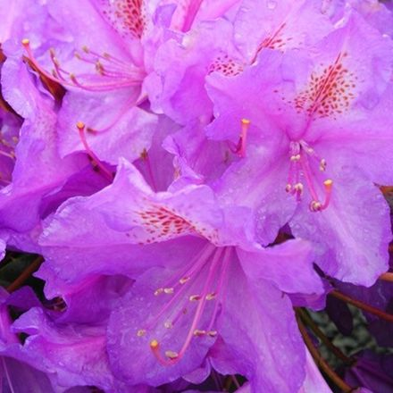 Rhododendron 'Lee's Dark Purple' 40-50 Cm En Conteneur